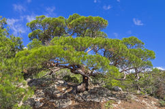 Pine on the cliff. Royalty Free Stock Photography