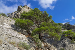 Pine on the cliff. Stock Photography