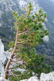 Pine on the cliff-side, with spreading branches Royalty Free Stock Photography