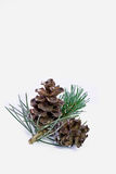 Pine close-up Royalty Free Stock Photography