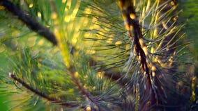 Pine closeup stock footage