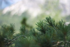 Pine closeup Royalty Free Stock Images