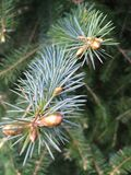 Pine. Closeup of a pine tree branch Stock Images