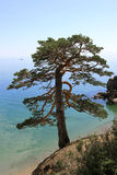 Pine on the coast. Of Lake Baikal stock images