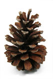Pine Cone 1 Royalty Free Stock Images