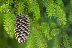 Pine Cone. Hanging in tree Stock Images