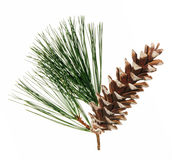 Pine Cone. With white tips and a pine sprig behind set against a white background Royalty Free Stock Image
