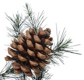 Pine cone. With pine branch isolated on white Royalty Free Stock Images
