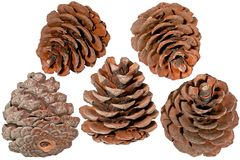 The pine cone Stock Photos