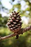Pine Cone. Single pine cone hanging from a tree at Bastrop State Park outside Austin, TX Royalty Free Stock Photos