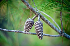 Pine Cone . Detail of pine cone on a branch Stock Photo