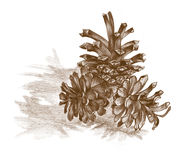 Pine cone. Hand drawn three pine cones in brown color Stock Photography