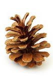 Pine Cone. Isolated on white Stock Photography