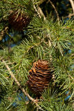Pine cone. Green pine with brown cone stock image