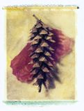 Pine cone. Polaroid transfer of pine cone Royalty Free Stock Images
