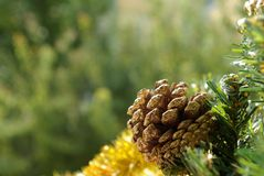 Pine cone. (conifer cone) on tree with blurred green background Royalty Free Stock Image