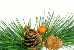 Pine and cone Royalty Free Stock Images