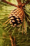 Pine-cone Stock Photos