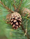 Pine cone. Young pine cone on pine branch Stock Photos