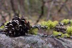 Pine cone 6 Stock Image