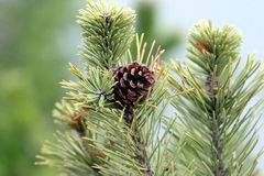 Pine cone. On a conifer Stock Photography