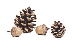 Pine cone and acorns. Tow pine cone and two acorns Royalty Free Stock Photography