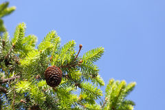 The pine cone against the blue sky Stock Image