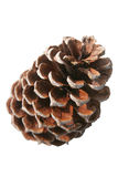 Pine Cone against white. Pinecone isolated on a white background Stock Photography