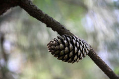 Pine-cone Stock Photos