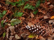Pine cone amid fall leaves Stock Photo