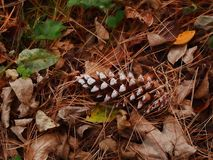Pine cone amid fall leaves Stock Images