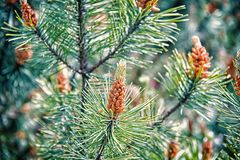 Free Pine Cone And Green Needles On Fir Tree In Krakow, Poland. Christmas And New Year Holiday Celebration. Evergreen Nature Royalty Free Stock Images - 135084829