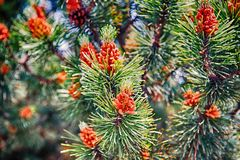 Free Pine Cone And Needles On Fir Tree In Krakow, Poland Royalty Free Stock Images - 133554749