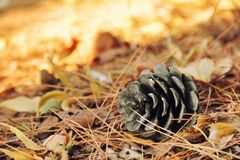 Pine cone on autumn ground Stock Photography