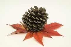 Pine cone on autumn leaves stock image