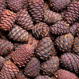 Pine cone background Stock Photo