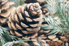 Pine cone background. Pine cone and coniferous branches close up Stock Photography