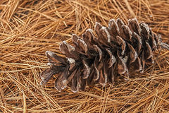 Pine-cone on a bed of needles Royalty Free Stock Image