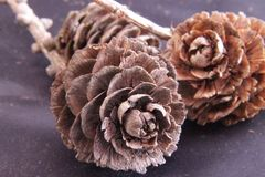 Pine cone. In black and brown Stock Images