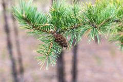 Pine cone on a branch.  stock photography