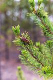 Pine cone on a branch.  stock image