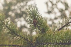 Pine cone on a branch.  royalty free stock photography