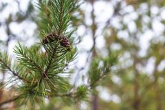 Pine cone on a branch.  royalty free stock photos