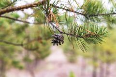 Pine cone on a branch.  royalty free stock image