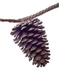Pine Cone and Branch Royalty Free Stock Photo