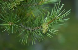 Pine cone branch. Natural abstraction - pine cone on a branch on a green background Royalty Free Stock Photos