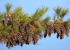 Pine Cone Branch stock photo
