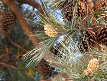 Pine cone on branch stock photo