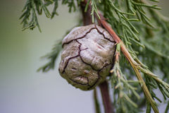 Pine cone on a branch 2 Royalty Free Stock Photography