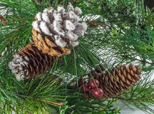 Pine Cone and Branch Royalty Free Stock Photography